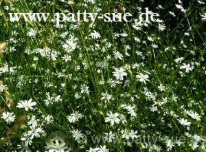 Gras-Sternmiere