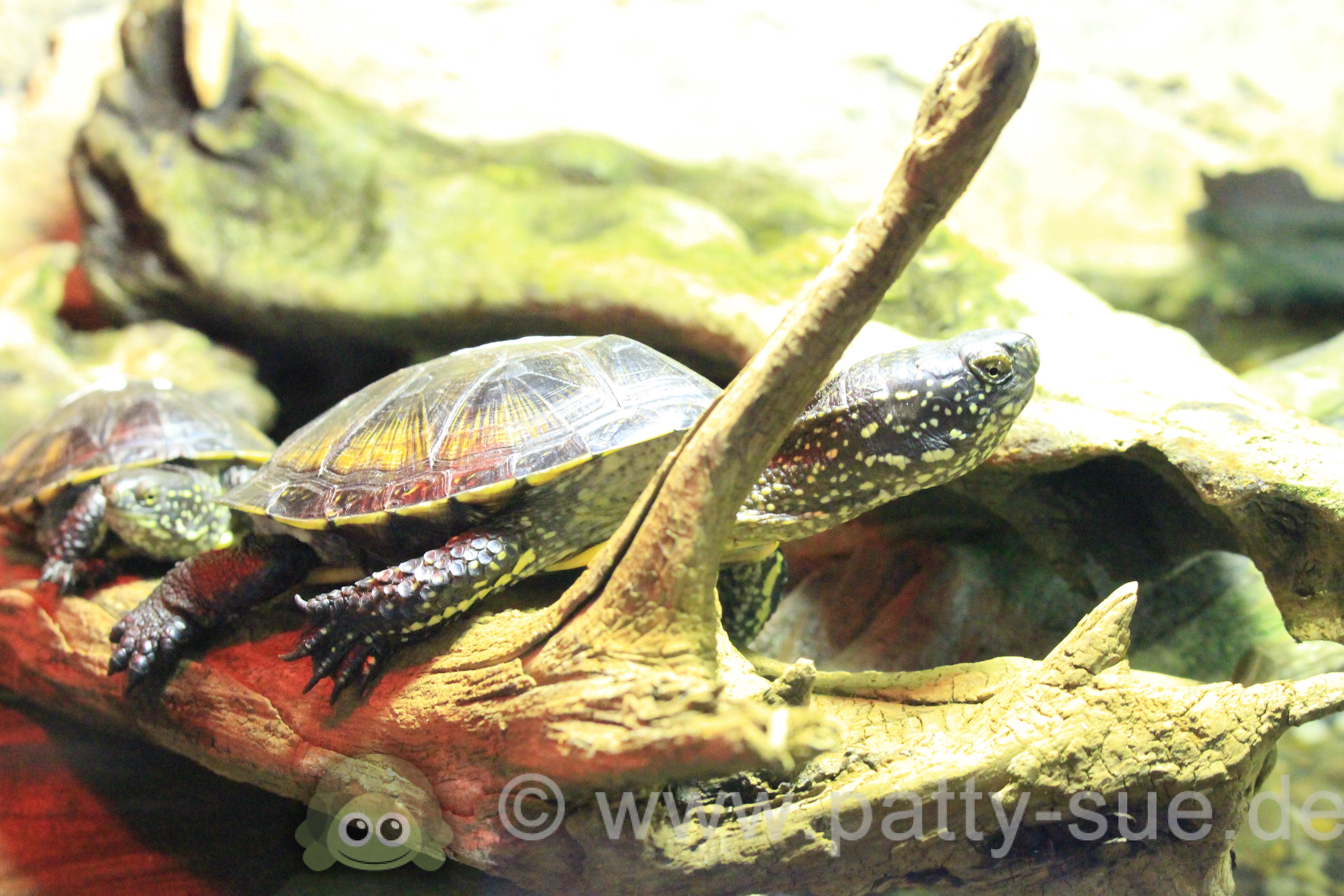 Sea Life in Oberhausen - Patty Sue - DIE Schildkröte